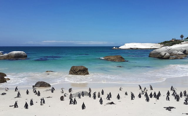 Penguins-Boulders-Cape-Town