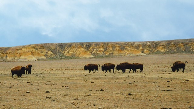 Misconceptions about the American Buffalo