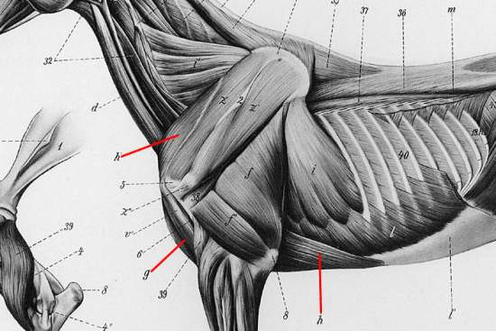 horse muscle and bone diagram allen bradley transformer wiring diagrams the pectoral muscles