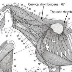 Horse Anatomy Diagram Muscles 2002 Ford Focus Radio Wiring The Rhomboideus Muscle 2012 June 14 2 Rhomboids Jpg