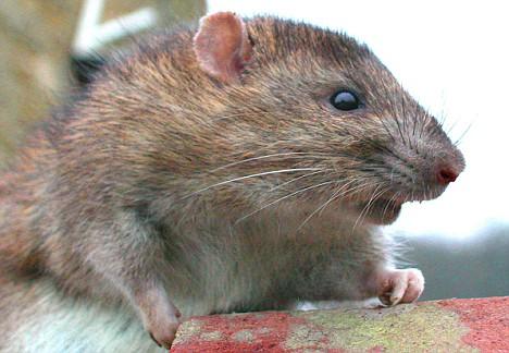 rato-marrom-hospedeiro-mortal