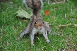 Wiewiórka przy Pałacu Buckingham