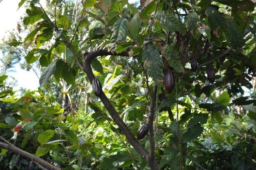 Kakaowiec w Kostaryce