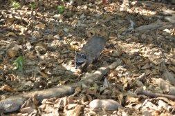 Koati w Parku Narodowym Manuel Antonio