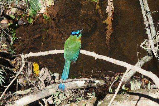Piłodziób (Motmot) spotkany w Monteverde