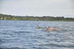 Delfiny przy Bocas del Toro