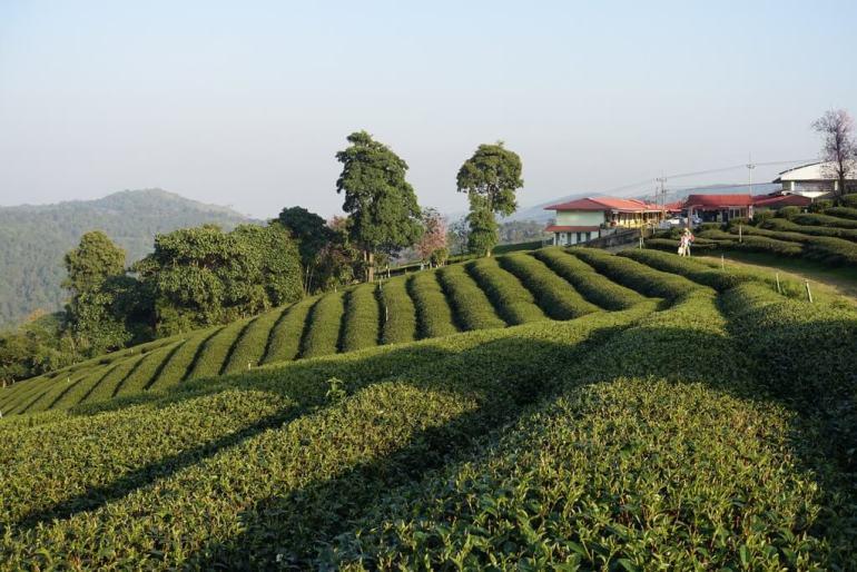 Tarasy herbaciane