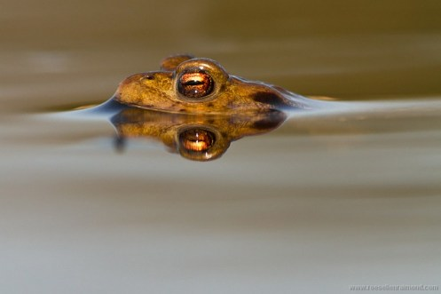 Toad with eyes like a mini sunset...