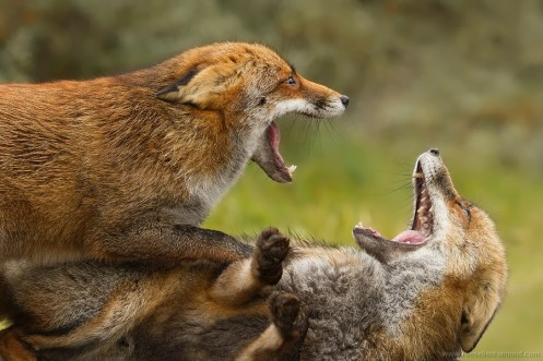 red fox fight fighting ears mouth foxtrot agressive dominance submission territory