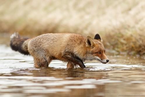 red fox vulpes vulpes vos water wet