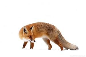 red fox snow landscape scene winter white cold