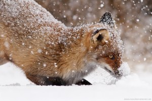 fox snow vulpes vulpes winter cold white flakes