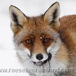 Red Fox Portrait with a prey