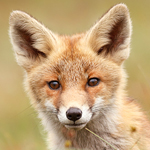 fox,kit,cub,portrait,young,young fox,red fox,vulpes vulpes