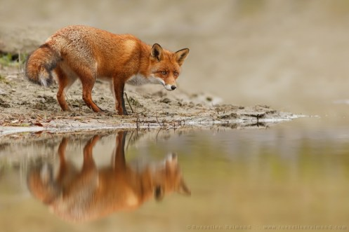 A red fox and its reflection