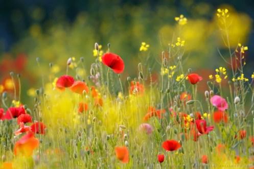 Field of poppies on s sunny summer morning