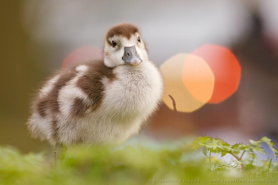 gosling,duckling,goose,duck,mallard,cute,egyptian goose, Alopochen aegyptiaca