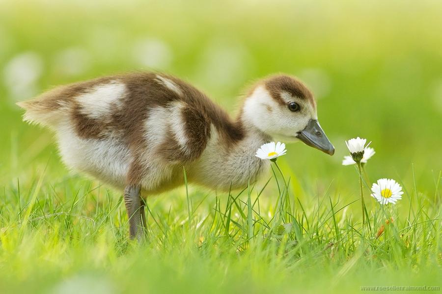 gosling_flowers