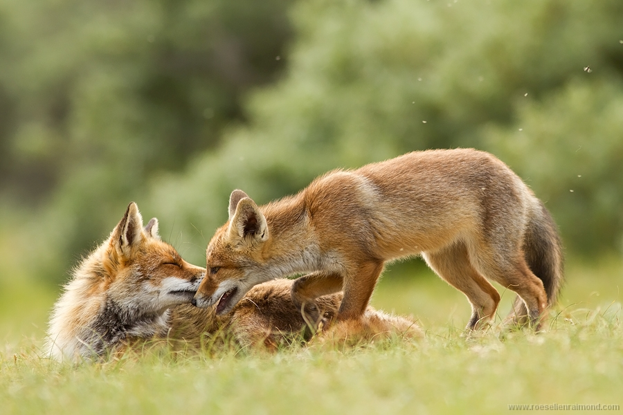 social behaviour foxes family kits bonding grooming caring greeting renard Fuchs volpe zorro kettu räv 狐狸 rubah raposa lis ثعلب лисица ræv αλεπού שועל róka refur キツネ 여우 lisica лисиця روباه líška จิ้งจอก tilki räv