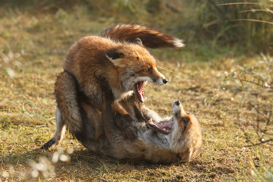 red fox vulpes vulpes fight fighting combat submissive dominant foxtrot behaviour