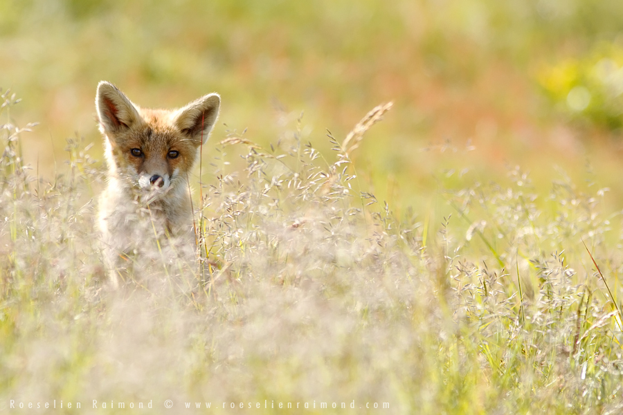 fox,kit,cub,young,young fox,red fox,vulpes vulpes,grass,summer,evening,spring,light,back light,backlit