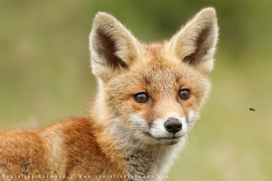 fox,kit,cub,young,young fox,red fox,vulpes vulpes,fly,insect,curious