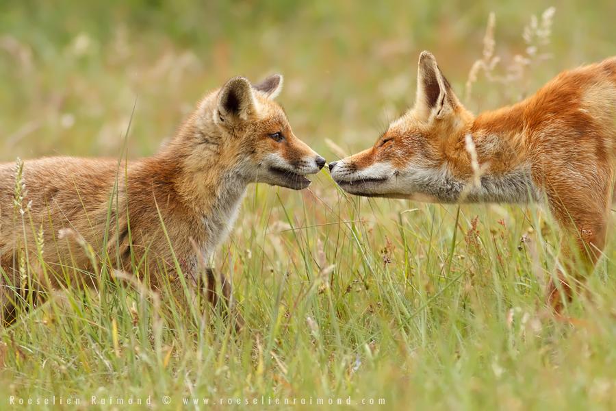 fox,kit,cub,young,vixen,greeting,young fox,red fox,vulpes vulpes