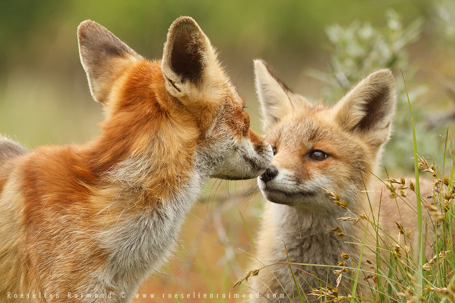 fox,kit,cub,young,young fox,red fox,vulpes vulpes