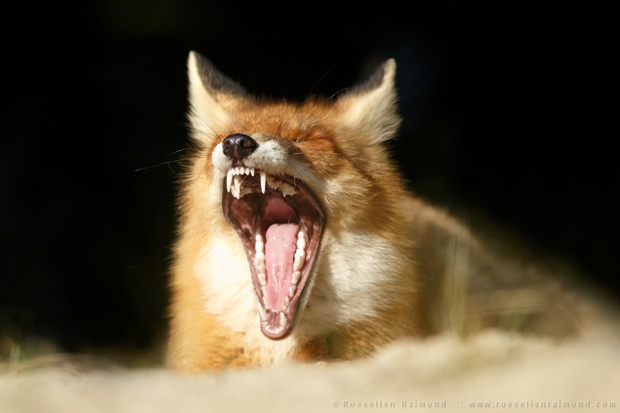 Red fox yawning against a black background