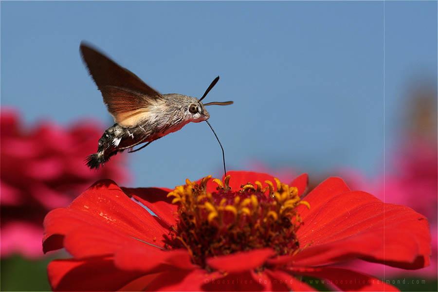 Hummingbird hawk-moth hummingmoth Macroglossum stellatarum insect butterfly
