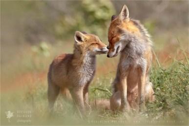 wildlife red fox vulpes vulpes kit affection love wild animal