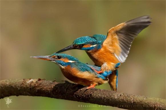 Common Kingfisher Alcedo atthis IJsvogel copulating mating courtship male female