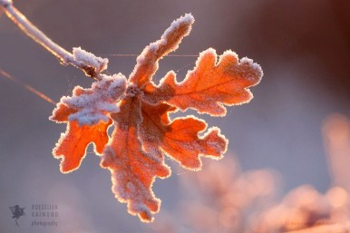 frosted oak leaves