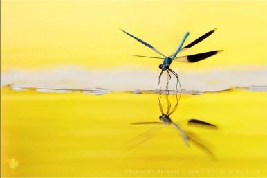 Banded Demoiselle calopteryx splendens reflection water