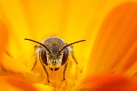 macro photography Bee Andrena sp flower miner insect macro