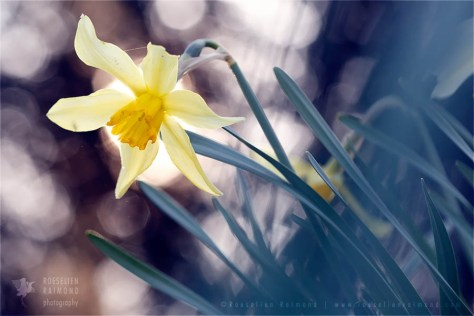 Amaryllidacea narcis flower photography