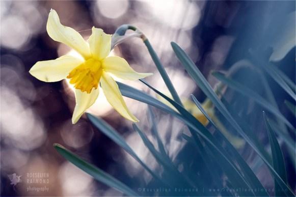 Amaryllidacea narcis flower photography