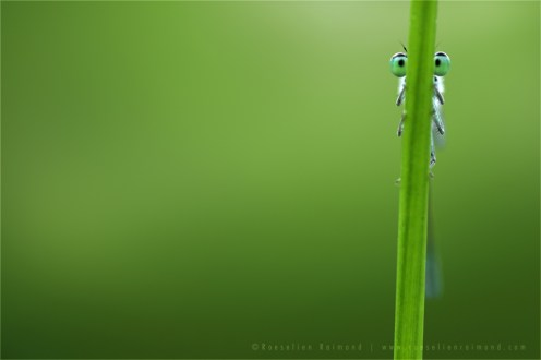 Variable Damselfly Coenagrion pulchellum insect eyes curious nature hiding funny humour macro photography