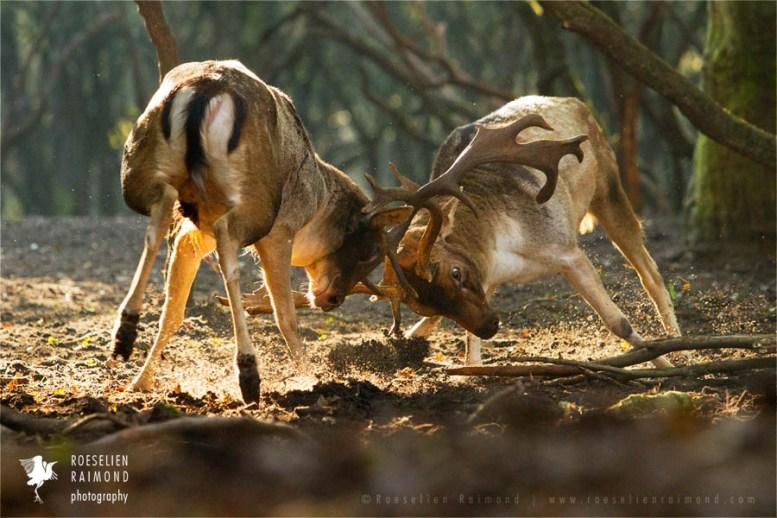 wildlife fallow deer Dama dama fight fighting forest wildlife
