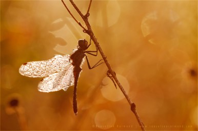Black Darter Sympetrum danae sunrise light bokeh mood dew