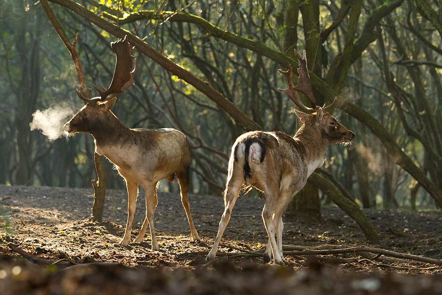 Deer fight