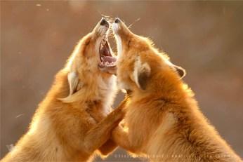 fox vulpes foxes fighting backlight backlit rim fuchs zorro renard