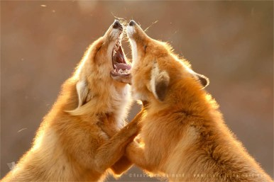 fox vulpes foxes fighting backlight backlit rim fuchs zorro renard
