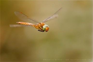 Green-Eyed Hawker Flight flying insect macro Green-Eyed Hawker Aeshna isoceles