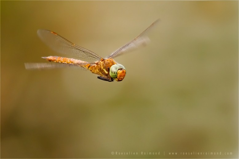 Green-Eyed Hawker Flight flying insect macro Green-Eyed Hawker Aeshna isoceles