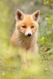 red fox vulpes vulpes vos water rain soaking