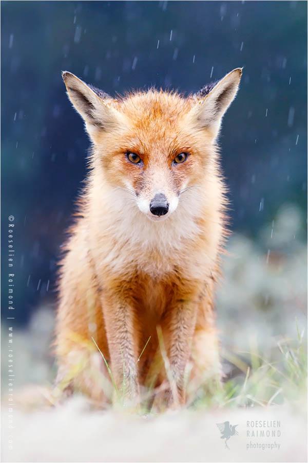 fox vulpes fuchs zorro renard