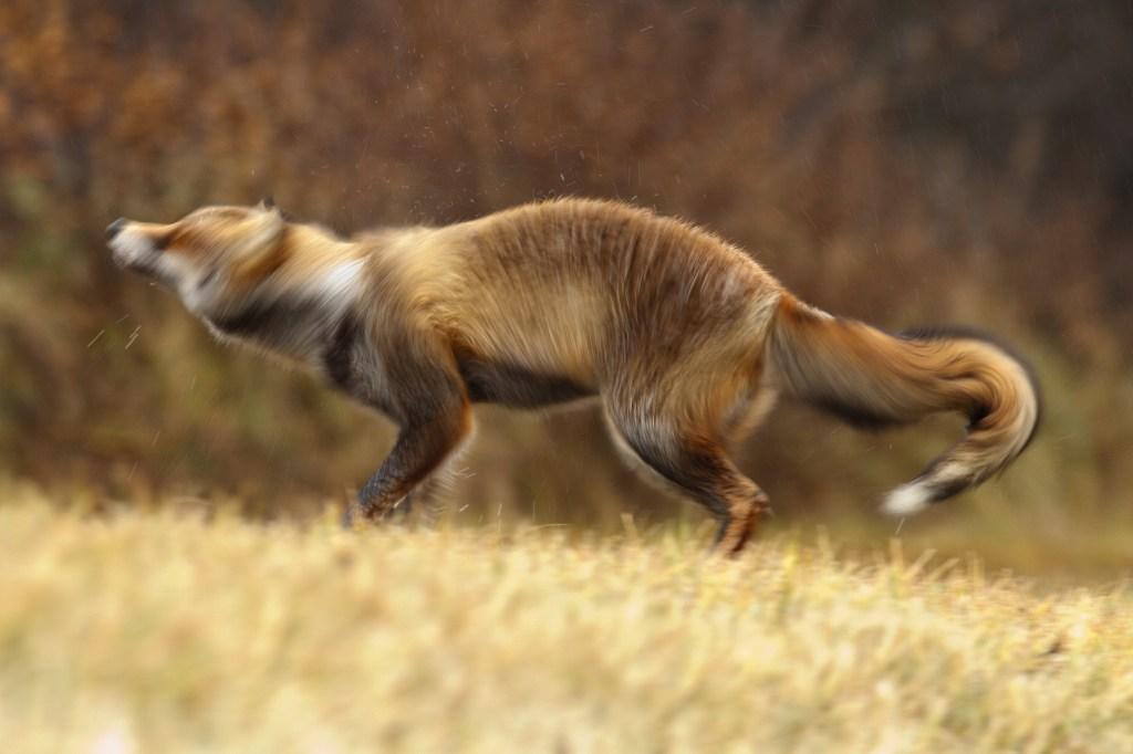 The Fox Shake