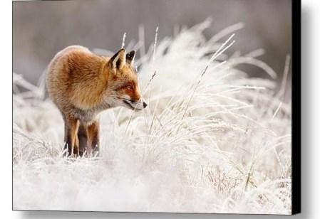 Fox in the snow fine art