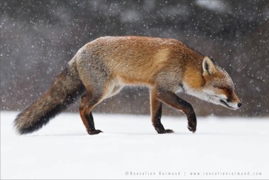 Red Fox Plowing through a Snow Storm